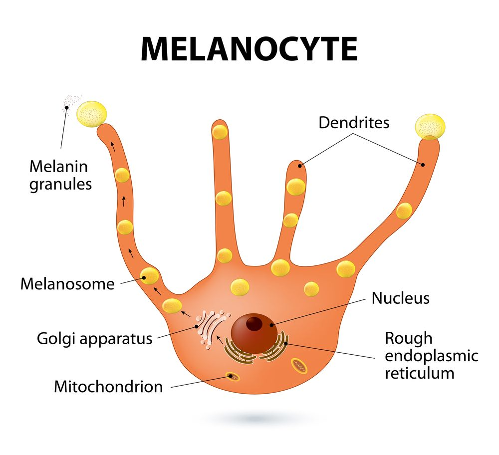 melanocyte
